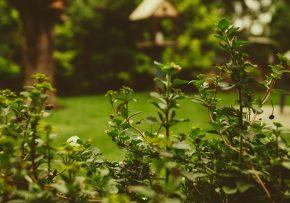 Živý plot vo dvore – v čom sú jeho najväčšie výhody?