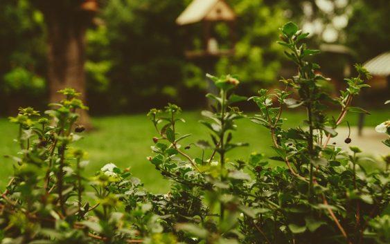Živý plot vo dvore - v čom sú jeho najväčšie výhody?